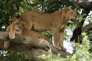 21 Day Uganda Safari