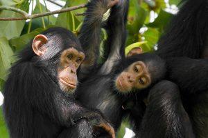 5Day Gorilla & Chimp