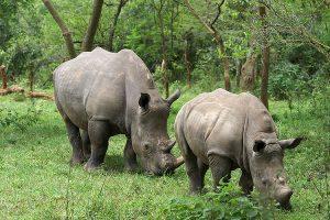 Rhinos in Ziwa