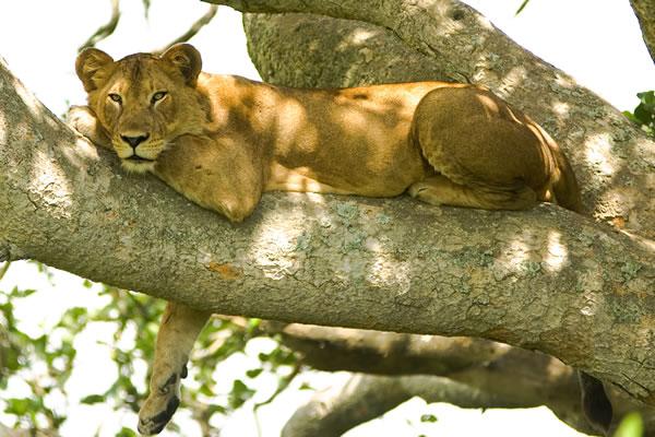 Tree Climbing Lions in Queen